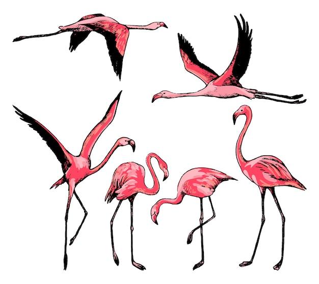 Collectie van prachtige flamingo's geïsoleerd op wit. gekleurde schetsen van tropische vogels. set hand getrokken vectorillustratie. vintage grafische elementen voor design.