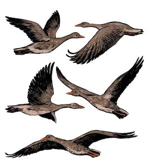 Collectie van vliegende grauwe ganzen geïsoleerd op wit. realistische inktschetsen van wilde vogels, dieren. set hand getrokken vectorillustratie. gekleurde vintage grafische elementen voor design.