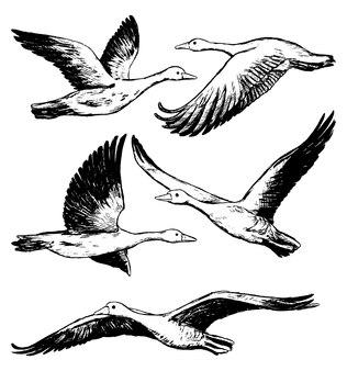 Collectie van vliegende grauwe ganzen geïsoleerd op wit. realistische inktschetsen van wilde vogels, dieren. set hand getrokken vectorillustratie. zwarte vintage grafische elementen voor design.