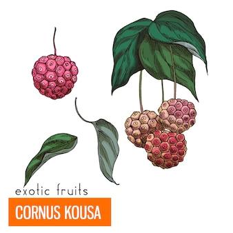 Cornus kousa. kleur vectorillustratie.