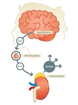 Cortisol-diagramillustratie