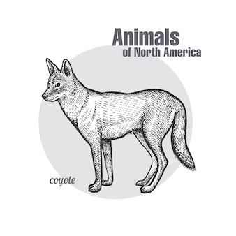 Coyote. animals of north america-serie.