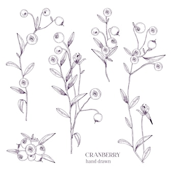 Cranberry-set. gedetailleerde handgetekende takken met bessen. zwart-wit handgetekende illustraties.