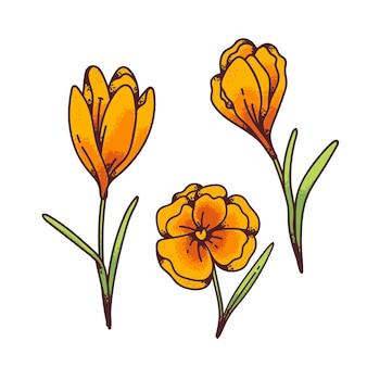 Crocus gele bloemen lente primula's instellen voor ontwerp wenskaart. overzicht schets illustratie