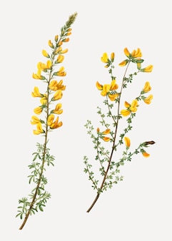 Cytisus complicatus bloemen