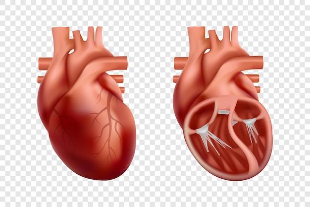 D anatomie van het menselijk hart met dwarsdoorsnede en niet-gesneden weergave anatomisch correct realistisch hart