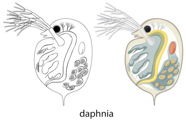 Daphnia in kleur en doodle op witte achtergrond