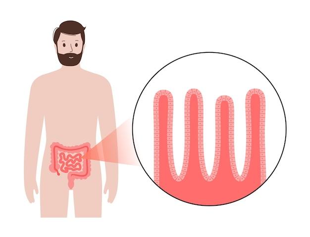 Darmvlokken diagram. oppervlakte van de darmwand. dwarsdoorsnede van de dunne darm