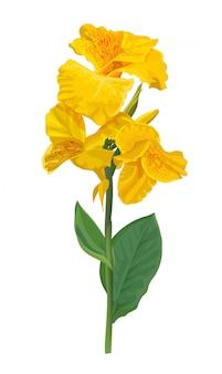 De gele bloem van de cannalelie op wit wordt geïsoleerd dat