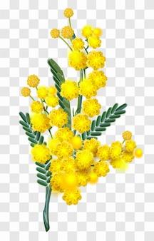 De gele geïsoleerde tak van de mimosabloem