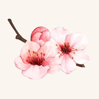 De hand getrokken geïsoleerde bloem van de kersenbloesem