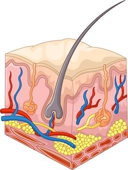 De lagen huid en poriën