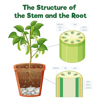 De structuur van de stam en de wortel