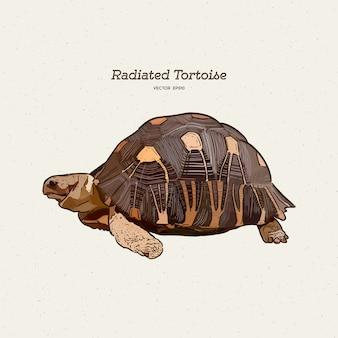 De uitgestraalde schildpad is een soort in de familie testudinidae. hand tekenen schets.