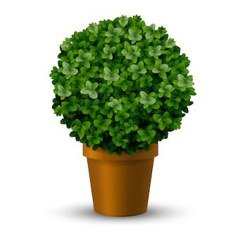 Decoratief bolvormig knipbuxus in een pot. topiary planten siertuin.