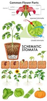 Diagram dat bloem schematische huidmondjes op witte achtergrond toont