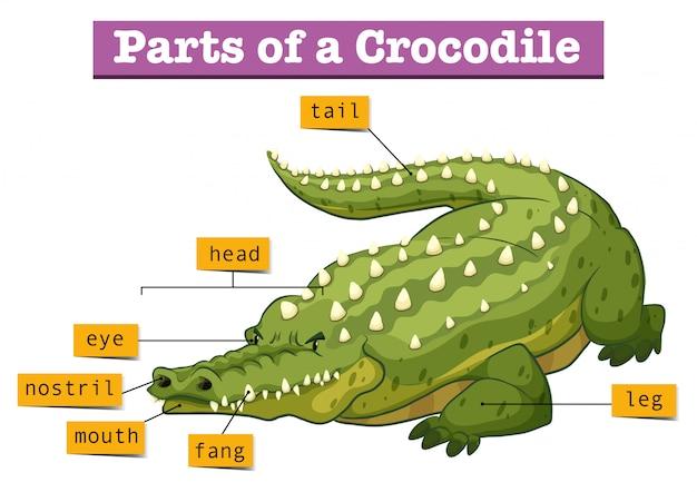Diagram dat delen van krokodil toont
