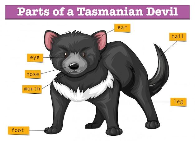 Diagram dat delen van tasmaanse duivel toont