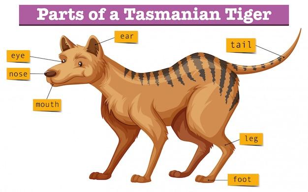 Diagram dat delen van tasmaanse tijger toont