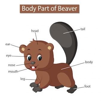 Diagram dat het lichaamsdeel van de bever toont