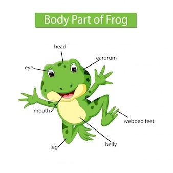 Diagram dat het lichaamsdeel van de kikker toont
