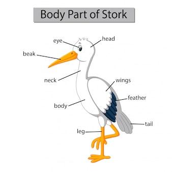 Diagram dat het lichaamsdeel van de ooievaar toont