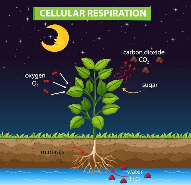 Diagram dat het proces van cellulaire ademhaling toont
