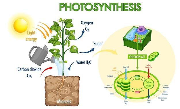 Diagram dat het proces van fotosynthese in plant toont