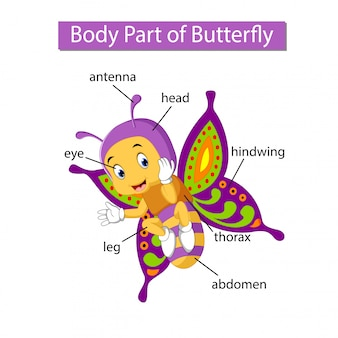 Diagram dat lichaamsdeel van vlinder toont
