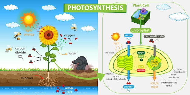 Diagram dat proces van fotosynthese in plant toont