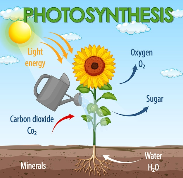 Diagram dat proces van fotosynthese in plant toont