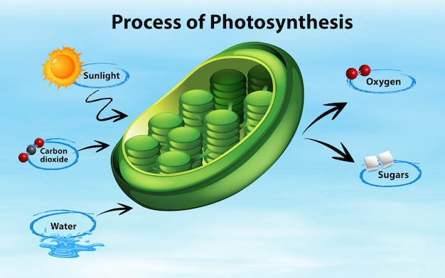 Diagram dat proces van fotosynthese toont