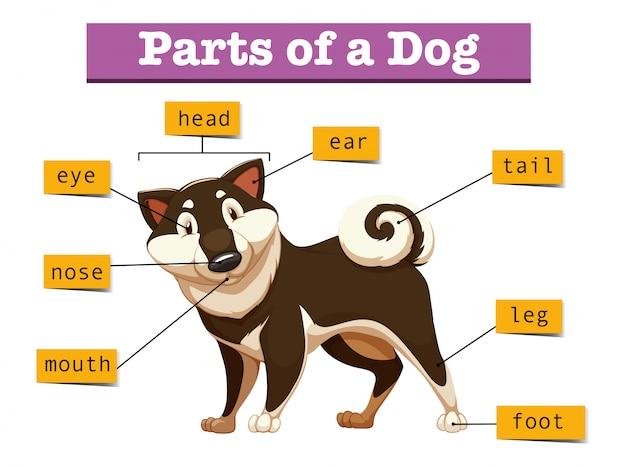 Diagram dat verschillend deel van hond toont