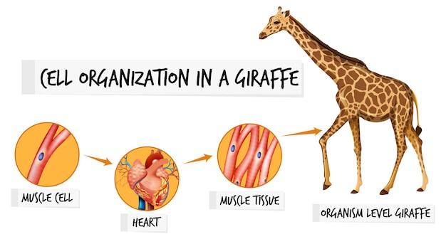 Diagram met celorganisatie in een giraf