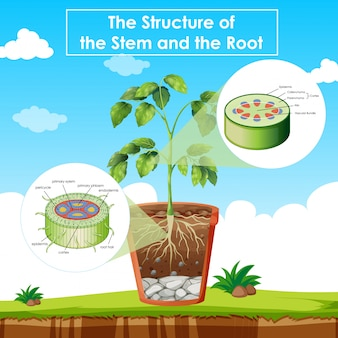 Diagram met de structuur van stengel en wortel