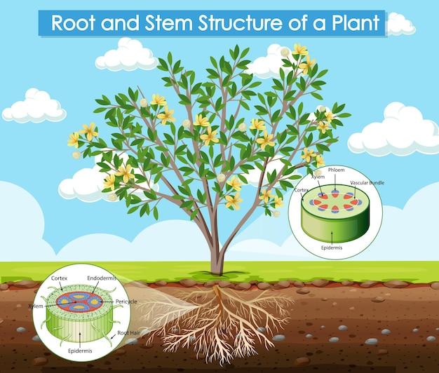 Diagram met de wortel- en stamstructuur van een plant