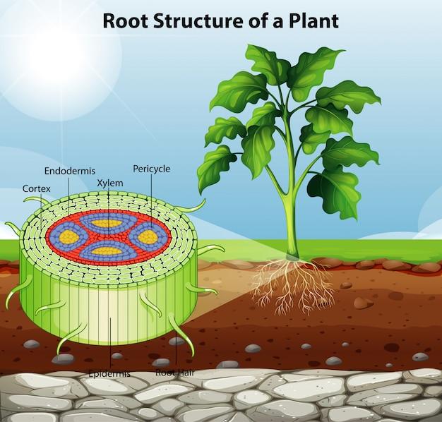 Diagram met de wortelstructuur van een plant