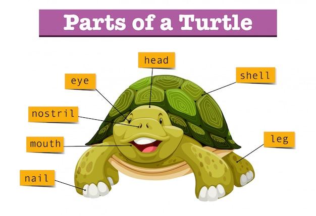 Diagram met delen van de schildpad