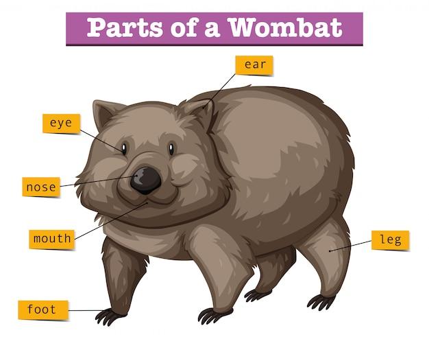 Diagram met delen van de wombat