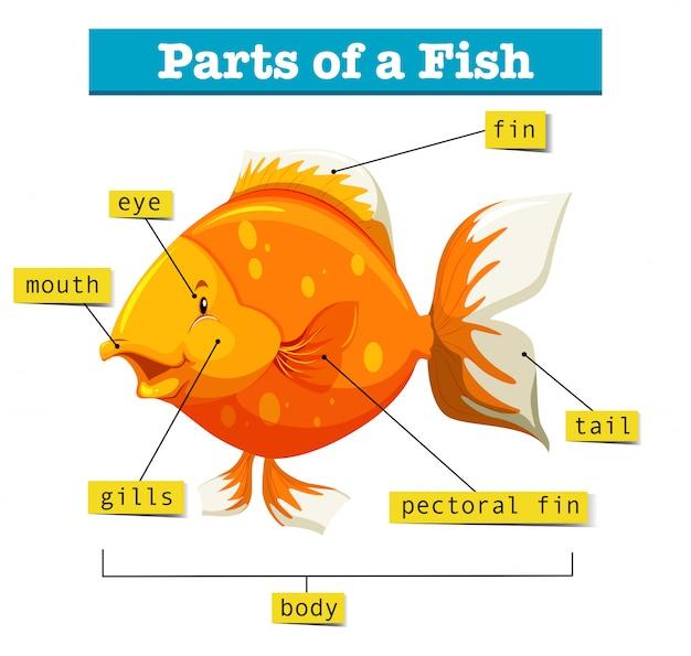 Diagram met delen van vis