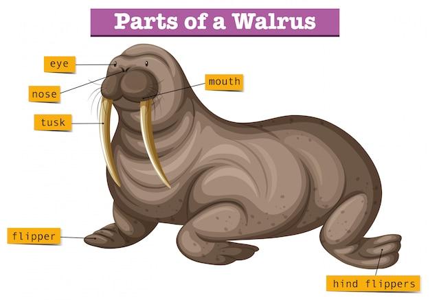 Diagram met delen van walrussen