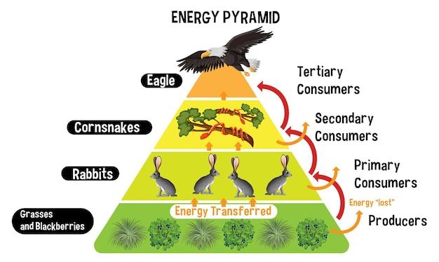 Diagram met energiepiramide voor onderwijs