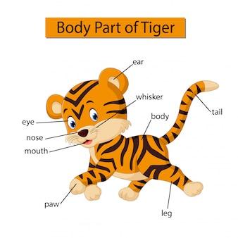 Diagram met het lichaamsdeel van de tijger