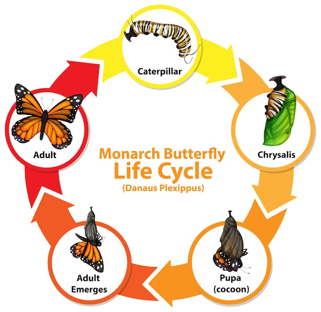 Diagram met levenscyclus van butterfly