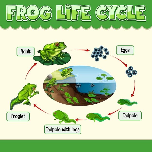 Diagram met levenscyclus van frog