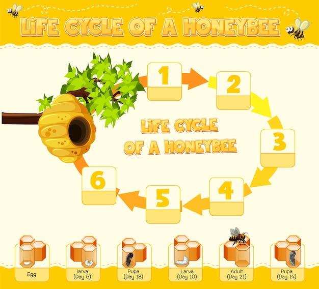 Diagram met levenscyclus van honey bee