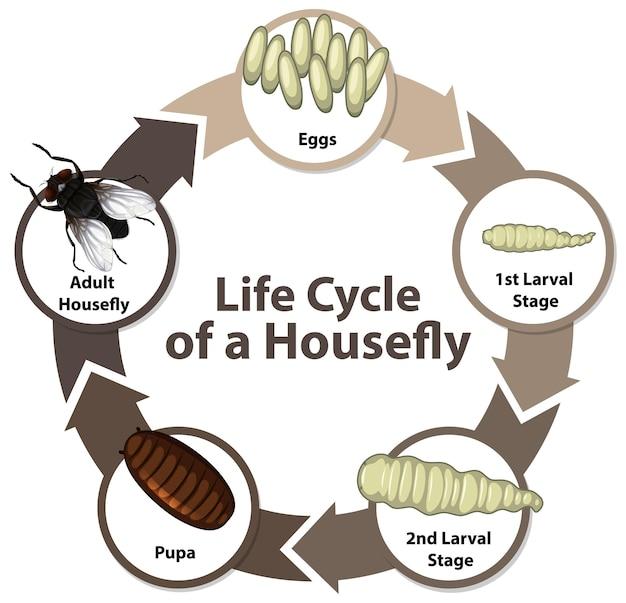 Diagram met levenscyclus van housefly