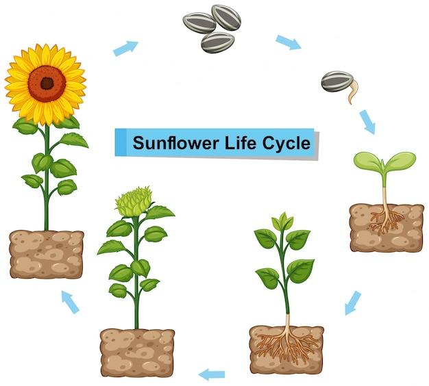 Diagram met levenscyclus van zonnebloem