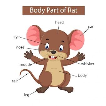 Diagram met lichaamsdeel van de rat