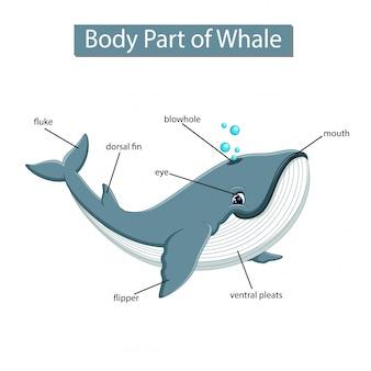 Diagram met lichaamsdeel van de walvis
